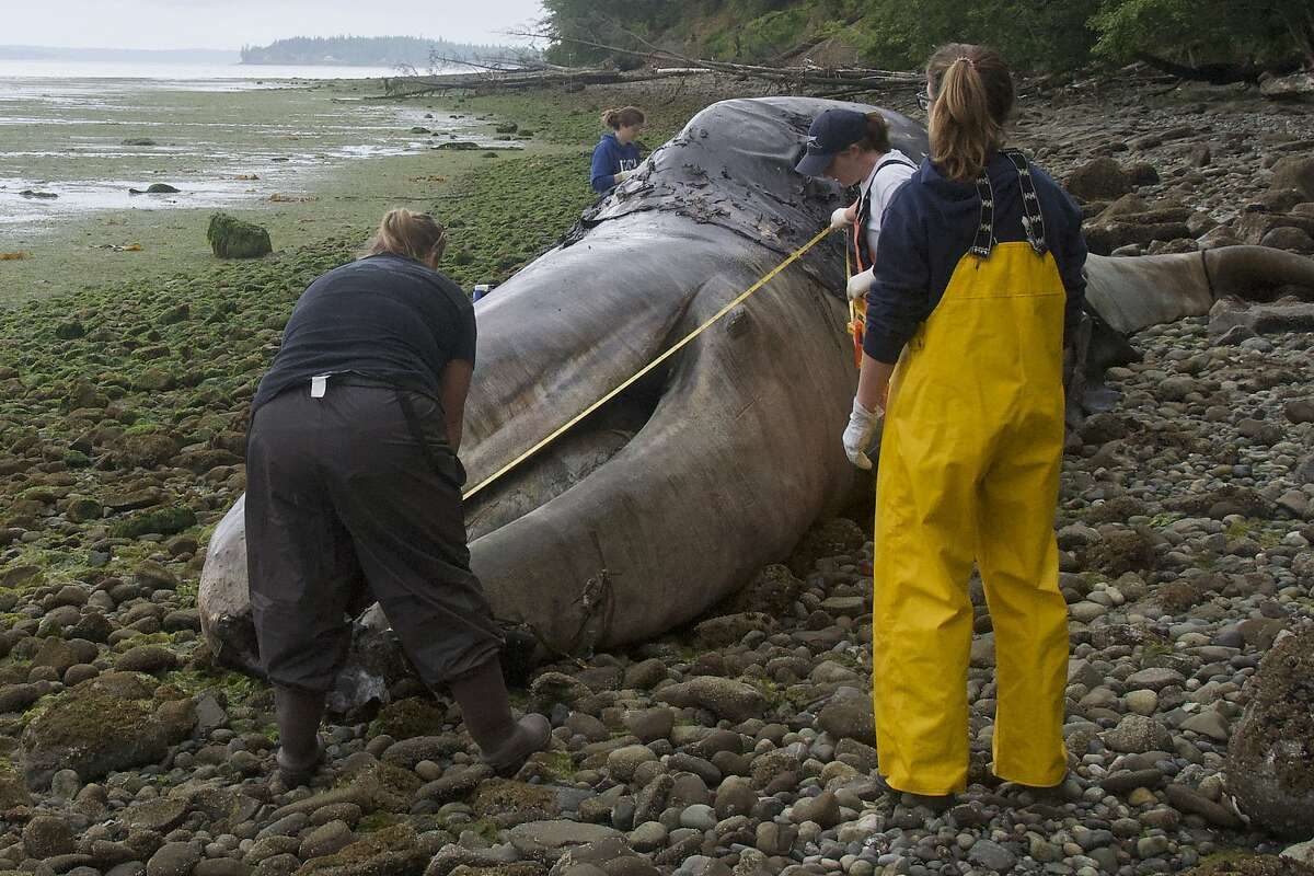 Veterinarian Stefanie Worwag, right, participates in a necropsy on a decomposing whale in front of her home, Monday, June 3, 2019, in Port Hadlock, Wash. The National Oceanic and Atmospheric Administration is looking for private landowners who'd be willing to let a dead whale decompose on their property. The unusual request comes two weeks after the federal agency announced they would study what has caused 81 gray whales to wash up dead on beaches in Alaska, Washington, Oregon and California. (AP Photo/Mario Rivera)