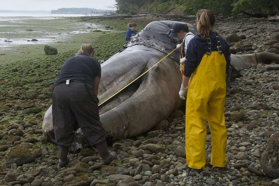 Veterinarian Stefanie Worwag (right) participates in a necropsy June 3 on a whale near her home in Port Hadlock, Wash. At least 29 whale corpses have washed ashore in Washington. Photo: Mario Rivera / Associated Press