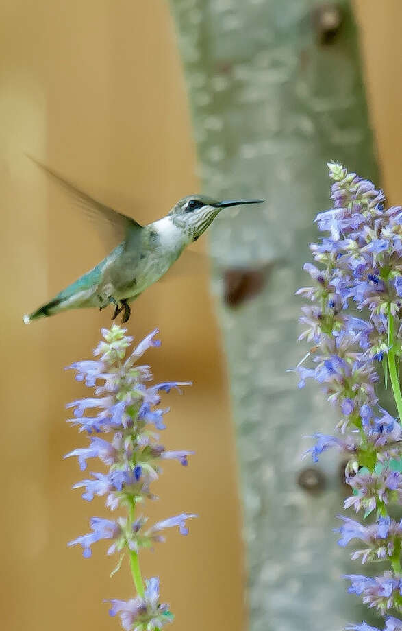 Hummingbird mints like this Blue Boa really do bring in hummingbirds, bees and butterflies.  (Norman Winter/TNS) Photo: Norman Winter / TNS