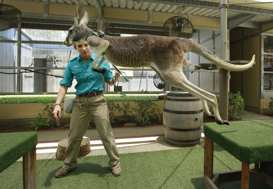 Animal trainer Kaitlyn Downing works with a red kangaroo during the behind the scenes Roos & Mates tour in the new Walkabout Australia area of the San Diego Zoo Safari Park on May 29, 2019. (K.C. Alfred/San Diego Union-Tribune/TNS) Photo: K.C. Alfred / San Diego Union-Tribune