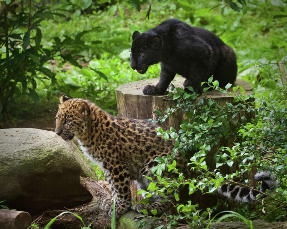 A new attraction at Connecticut's only zoo made its public debut on Friday, June 21, 2019. Two of the rarest of the big cats on planet Earth, named Orion and Kallisto. The cute Amur leopard cubs that have slowly been acclimating to their new habitat, and are now available for Beardsley Zoo guests to view from 9 to 11 a.m. and from 2 to 4 pm.. daily Photo: Shannon Calvert /Beardsley Zoo