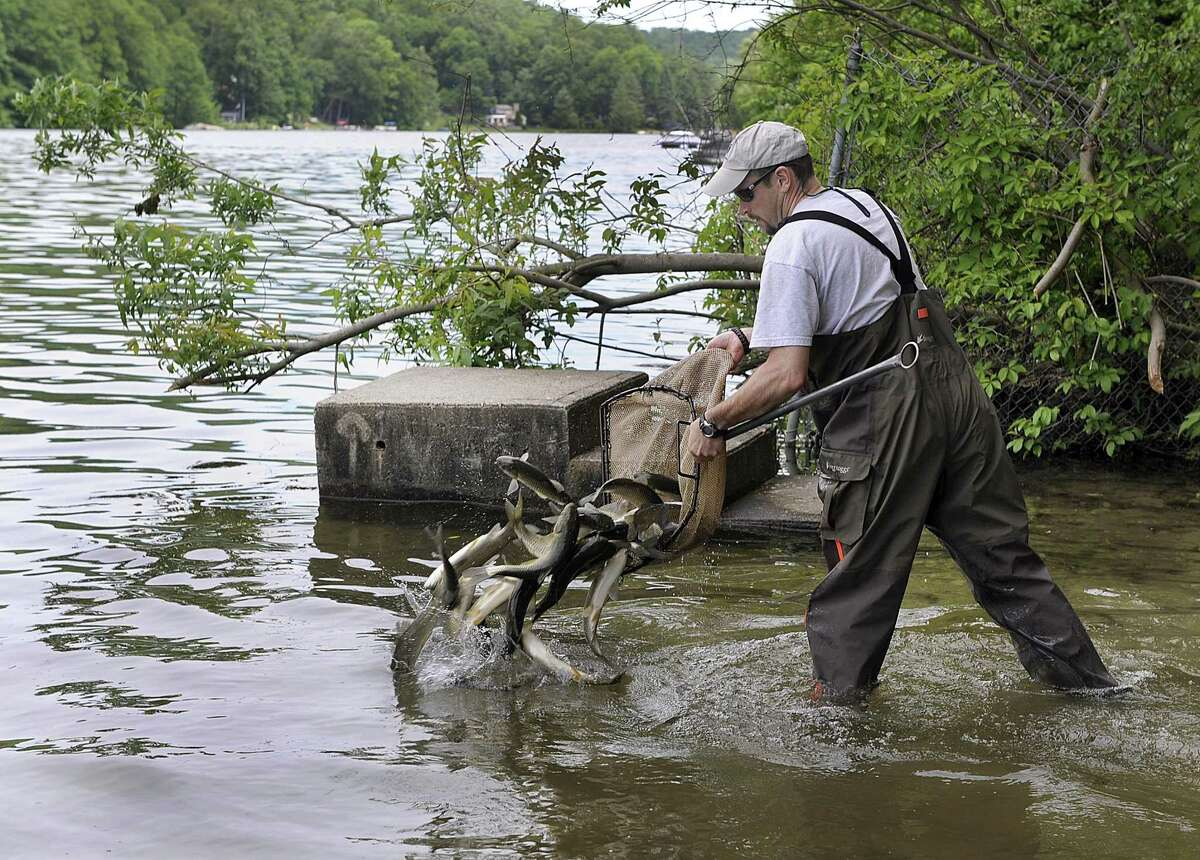 Todd Bobowick, with Rowledge Pond Aquaculture LLC. of Sandy Hook, releases sterile grass carp into Squantz Pond in New Fairfield, Thursday, June 8, 2017. In all 585 carp were added to Squantz and Candlewood Lake another 4,450 carp as part of the ongoing effort to battle the Eurasian watermilfoil, which has been spreading for years and interfering with recreational use of the water. This is the first time the sterile grass carp, which have a voracious appetite for milfoil, has been introduced to Squantz Pond.