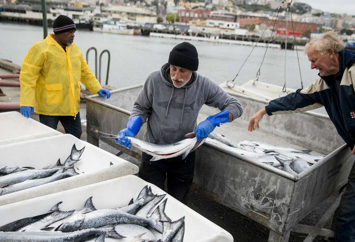 Pacific Sea boat captain Tom Wallace (right) assists fish processors Mark Adams (center) and Ronald Black as they work through multiple hauls of salmon while on the dock of Pier 45 at Fisherman's Wharf in San Francisco, Calif. Friday, June 21, 2019.