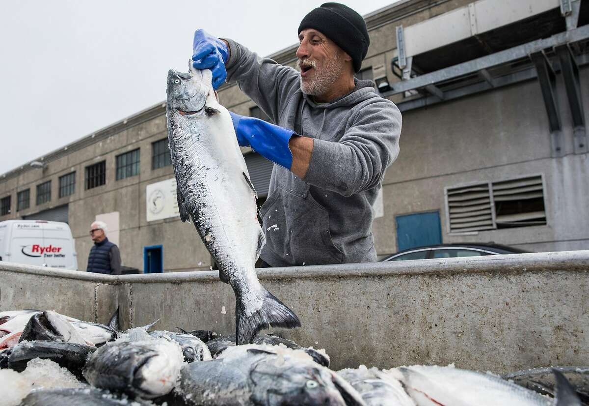 Fish processor Mark Adams works through a haul of salmon from the Pacific Sea fishing boat out of Eureka while on the dock of Pier 45 at Fisherman's Wharf in San Francisco, Calif. Friday, June 21, 2019.