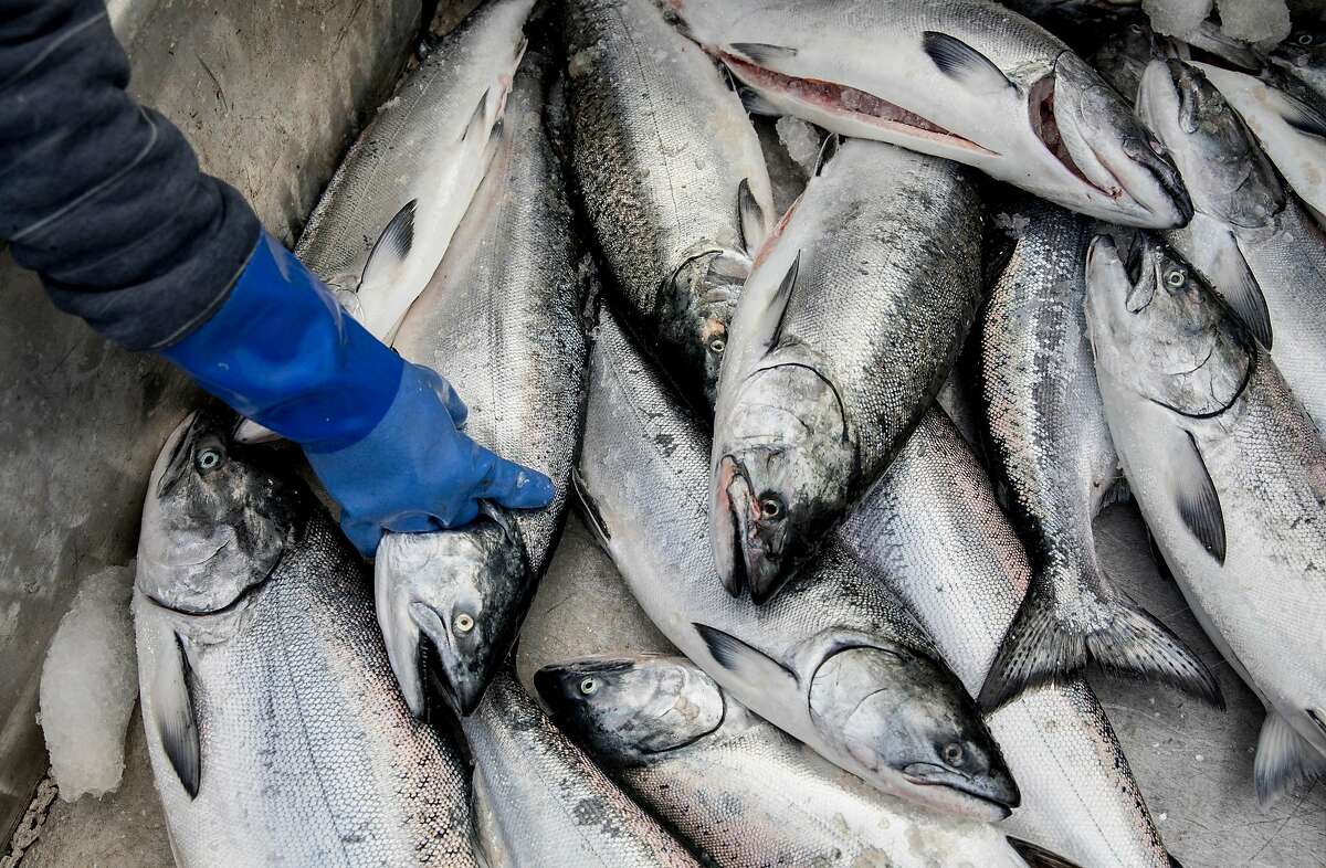 Fish buyer Joe Garofolo processes a haul of salmon from the Pacific Sea fishing boat out of Eureka while on the dock of Pier 45 at Fisherman's Wharf in San Francisco, Calif. Friday, June 21, 2019.