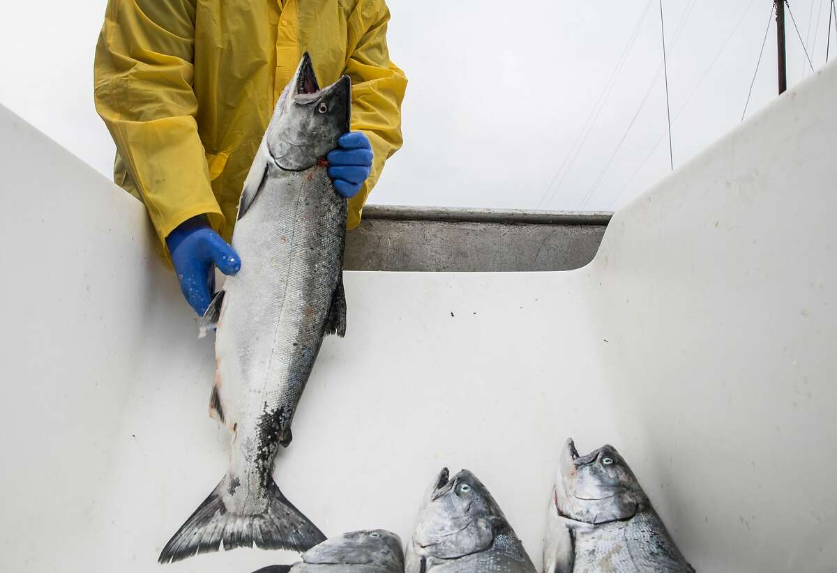 Fish processor Ronald Black works through a haul of salmon from the Pacific Sea fishing boat out of Eureka while on the dock of Pier 45 at Fisherman's Wharf in San Francisco, Calif. Friday, June 21, 2019.