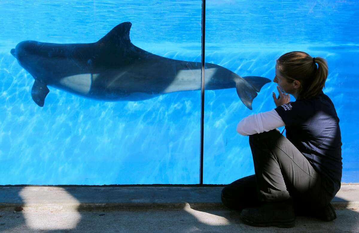 Sara Wielandt observes Bella's swimming and underwater sounds at Six Flags Discovery Kingdom in Vallejo, Calif. on Friday, Jan. 3, 2014. Bella, a late-term, first-time pregnant dolphin at the park has been observed possibly communicating with her unborn baby and is the focus of new research project.