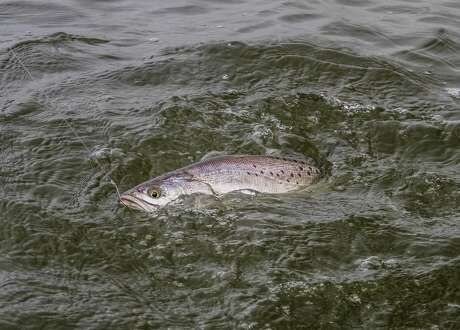 Speckled trout are one of the main attractions of Calcasieu Lake, located about 2-2.5 hours from Houston in southwest Louisiana.