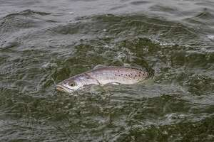 Speckled trout numbers continue strong in Texas bays, recent fisheries monitoring surveys indicate. But heavy freshwater runoff, especially in upper coast bays, have pushed fish out of some areas, concentrating them in waters with suitable salinity.