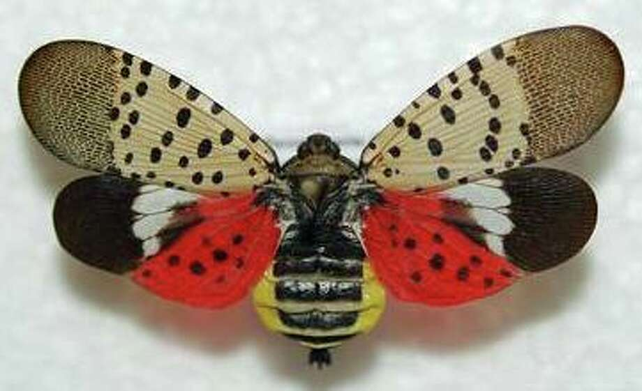 Adult spotted lanternfly showing the fore and hind wings. Photo: Contributed Photo / Lawrence Barringer For Pennsylvania Department Of Agriculture, Via DEEP