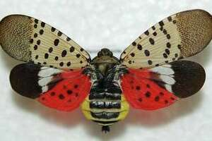 Adult spotted lanternfly showing the fore and hind wings.