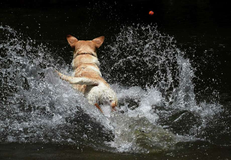 Mumford, a Labrador retriever owned by Sean and Erin Graney of Saratoga Springs, dives into Geyser Creek while chasing a ball in Saratoga Spa State Park on Monday, June 24, 2019, in Saratoga Springs, N.Y. (Will Waldron/Times Union) Photo: Will Waldron, Albany Times Union