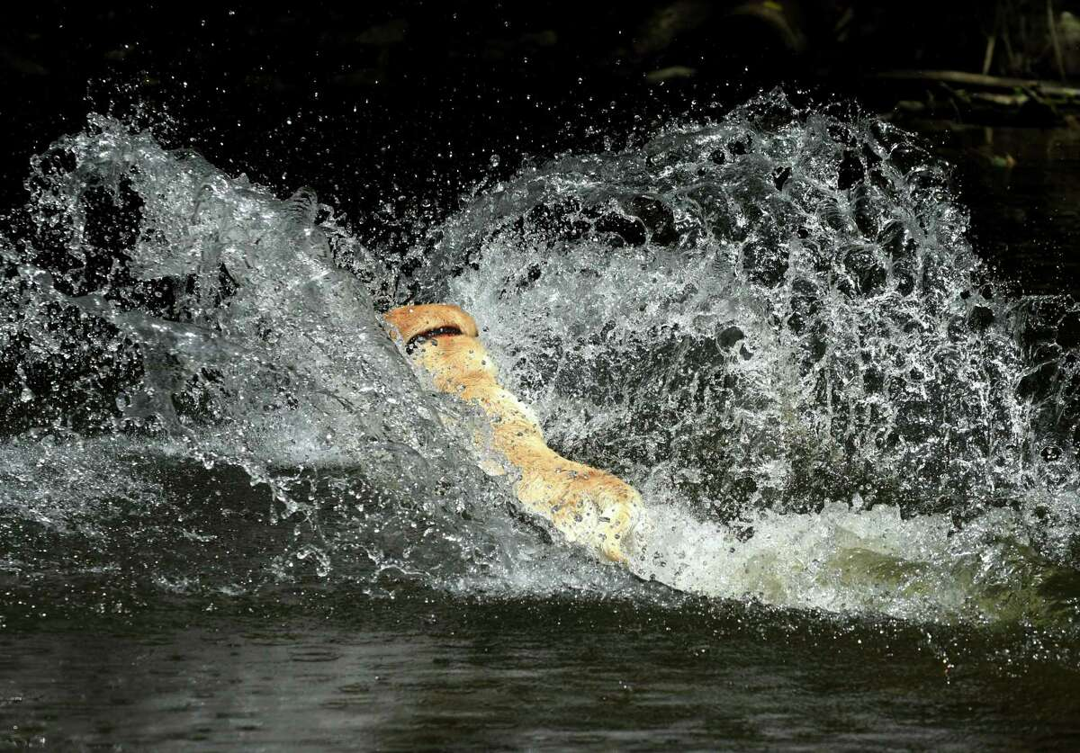 Mumford, a Labrador retriever owned by Sean and Erin Graney of Saratoga Springs, dives into Geyser Creek while chasing a ball in Saratoga Spa State Park on Monday, June 24, 2019, in Saratoga Springs, N.Y. (Will Waldron/Times Union)