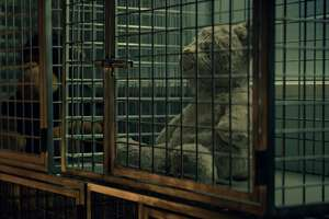 "A still shot from People for the Ethical Treatment of Animals' video, ""A Teddy Bear Tackles the Trauma of Animal Experimentation,"" which was rejected as a paid ad on WTNH-TV but which may be shown in a news segment."