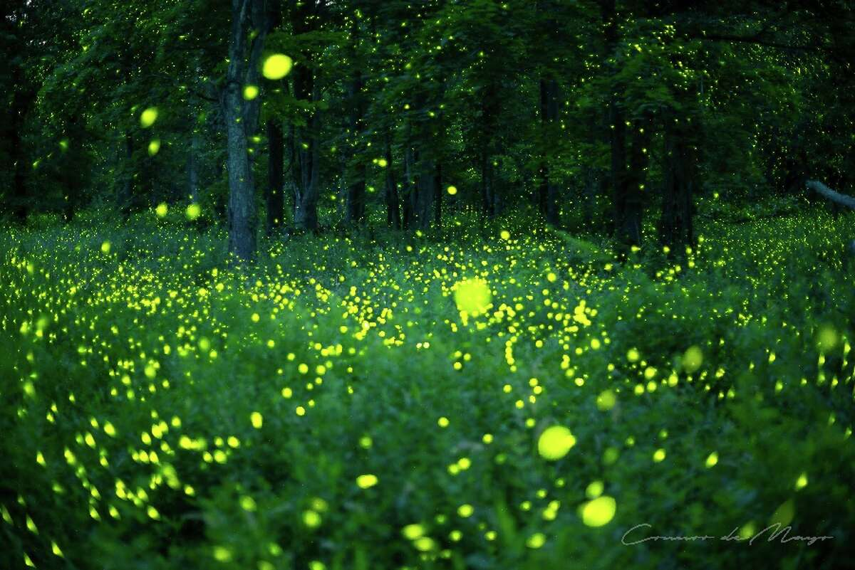 Pulsing lights of the fireflies are captured as yellow by the camera and the general light appears as late afternoon. To the naked eye the space was very dark at 10 p.m., and most of the lights appear white or blue-white - Contributed photo by Connor deMayo