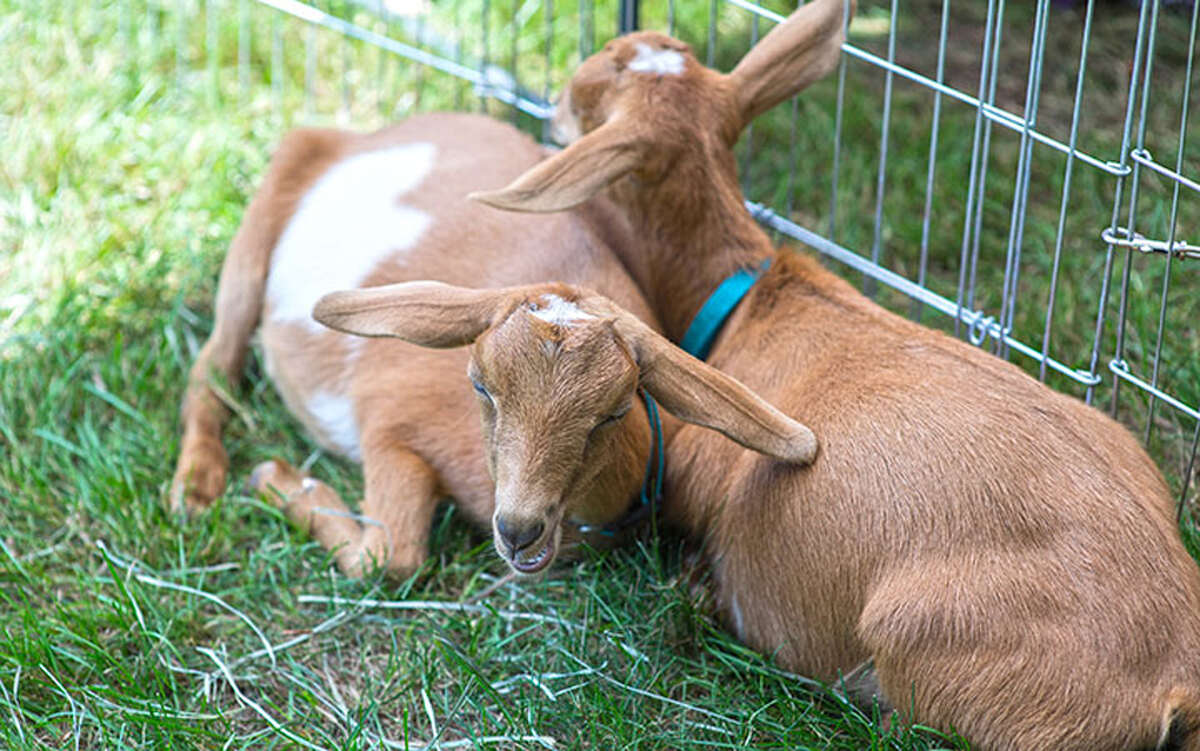 The New Canaan Conn. Parks and Recreation Commission voted to put goats to work in Irwin Park to get rid of knotweed, an invasive species Goats at Grange Fair. - Wilton Bulletin photo