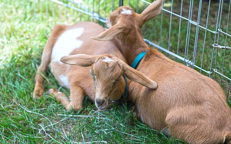 The New Canaan Conn. Parks and Recreation Commission voted to put goats to work in Irwin Park to get rid of knotweed, an invasive species Goats at Grange Fair. — Wilton Bulletin photo