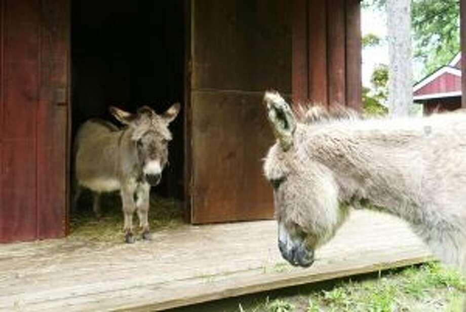 These are two of the four donkeys that are being donated to the New Canaan Nature Center. — Luca Triant photo