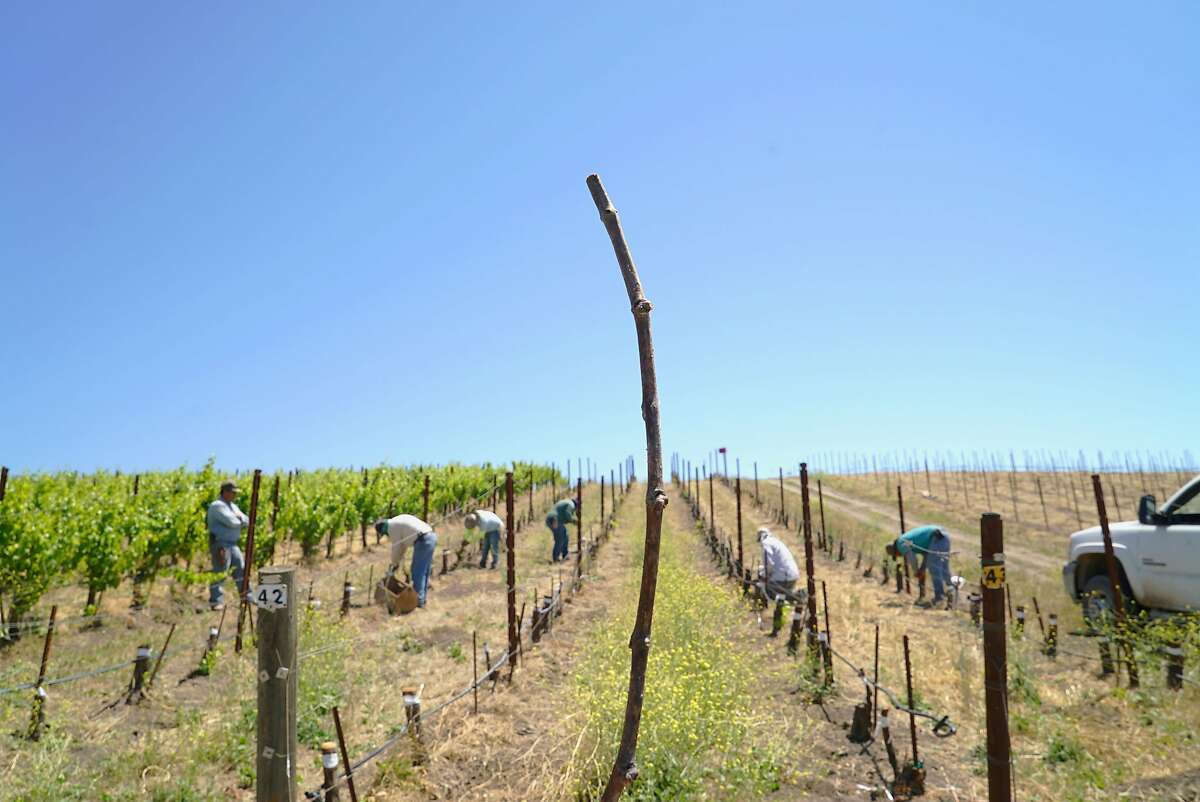 Muscardin vines are grafted at Tablas Creek Vineyard in Paso Robles, the first time Muscardin grapes have ever been introduced to the U.S.