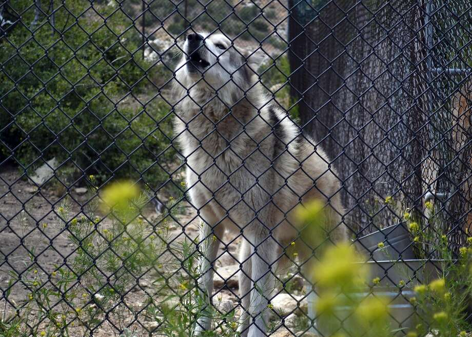 A wolf-dog at Wolf Connection howls from inside his habitat. Photo: Gregory Thomas