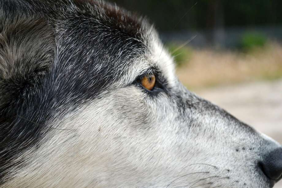 Luna, a high-content wolf-dog at Wolf Connection. Photo: Gregory Thomas