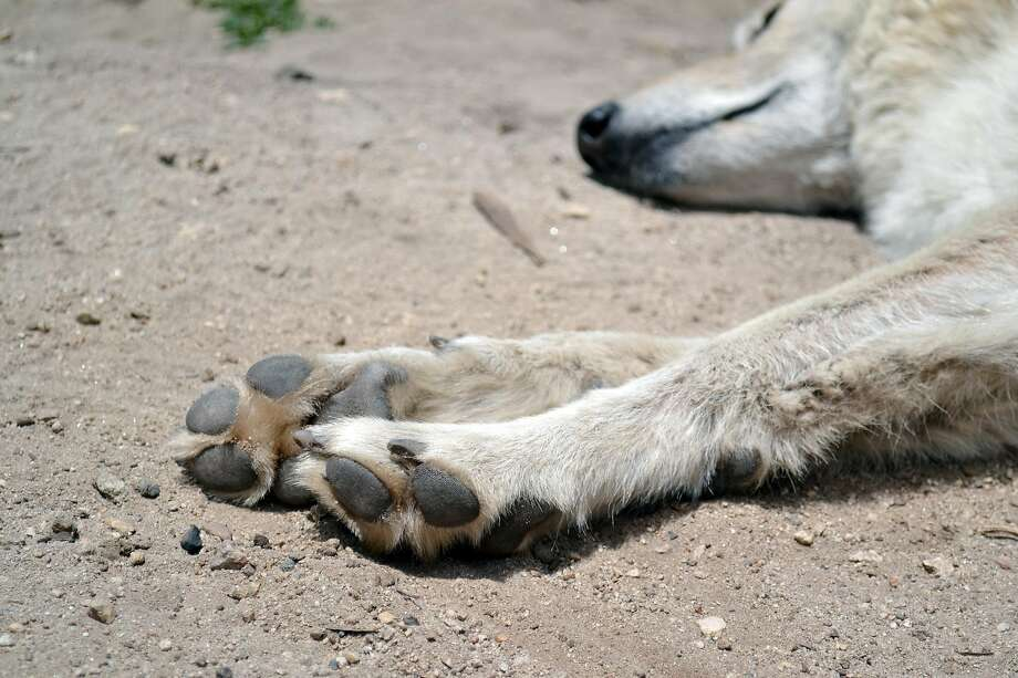 Malo rests in his habitat at Wolf Connection. Photo: Gregory Thomas
