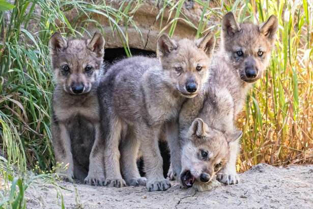 Oakland Zoo's four newborn grey wolf pups are exploring their new habitat.Siskiyou,a first-time mom, delivered the pups onMay 13th.