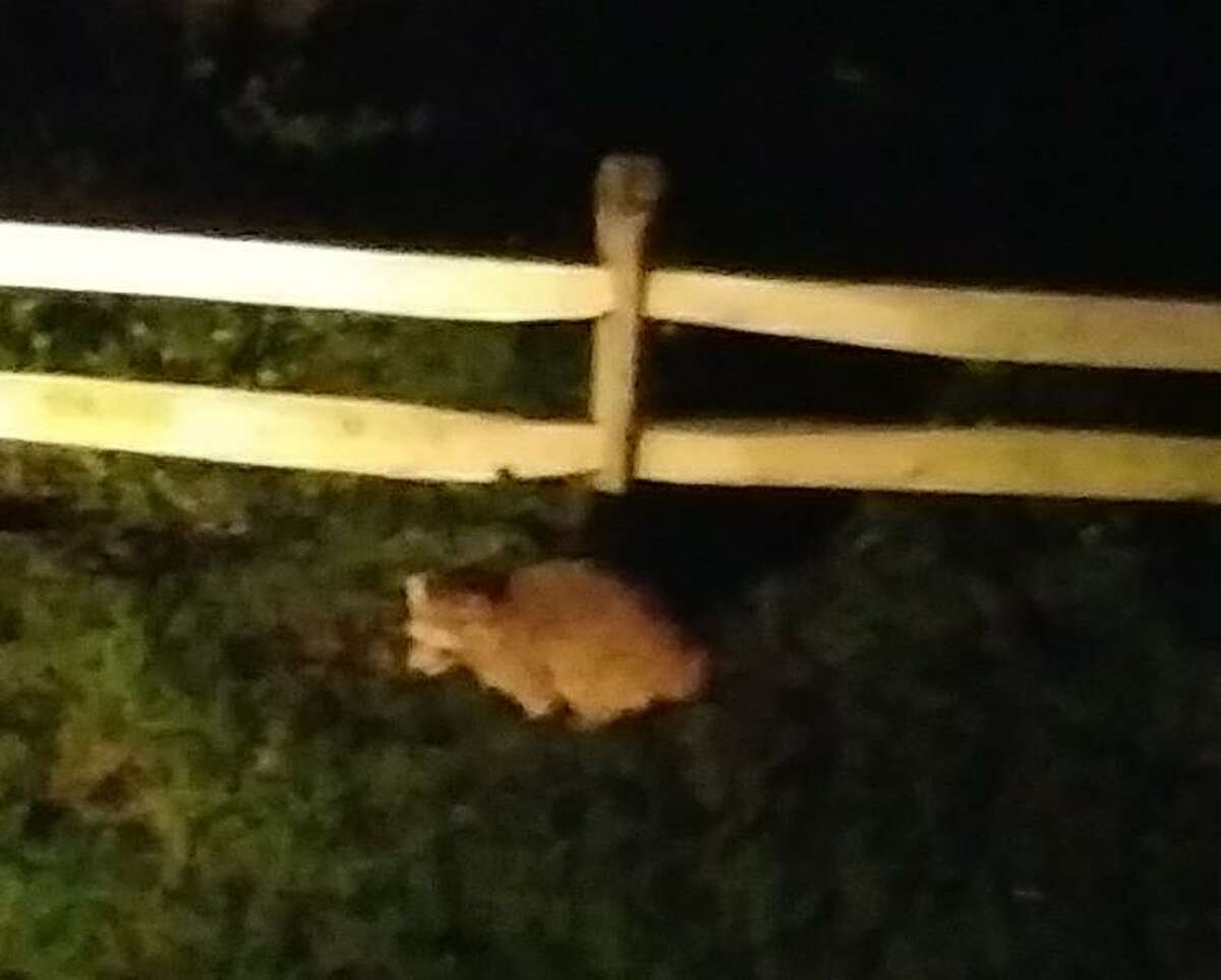 A leucistic raccoon is spotted in Bethel.