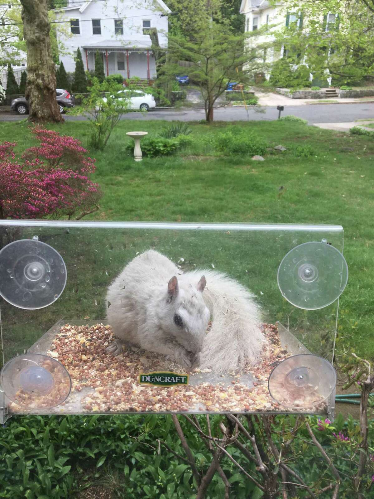 Though rare, there are other animals identified as leucistic, which is a genetic mutation that results in reduced pigmentation in all or part of an animal's fur, feathers, or scales. This white squirrel is in downtown Shelton.