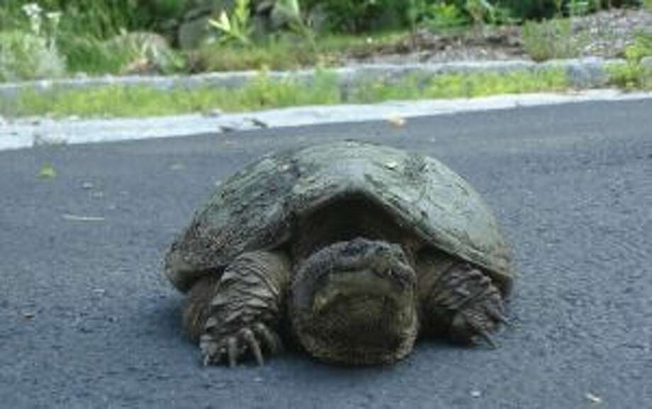 A female snapping turtle crosses a local resident's driveway as she seeks a place to lay her eggs. The Maritime Aquarium at Norwalk reminds residents not to handle turtles of any species that they encounter in spring. The only help the turtles may need is careful assistance across roads.