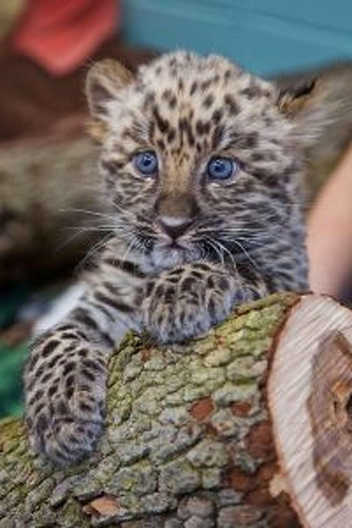 Orion is a Amur leopard cub at the Beardsley Zoo.- Shannon Calvert