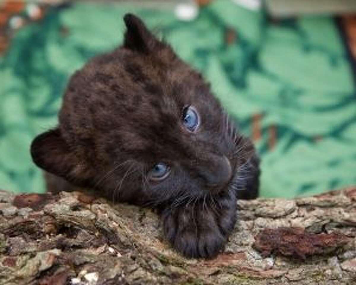 Kallisto is a Amur leopard cub at the Beardsley Zoo. - Shannon Calvert