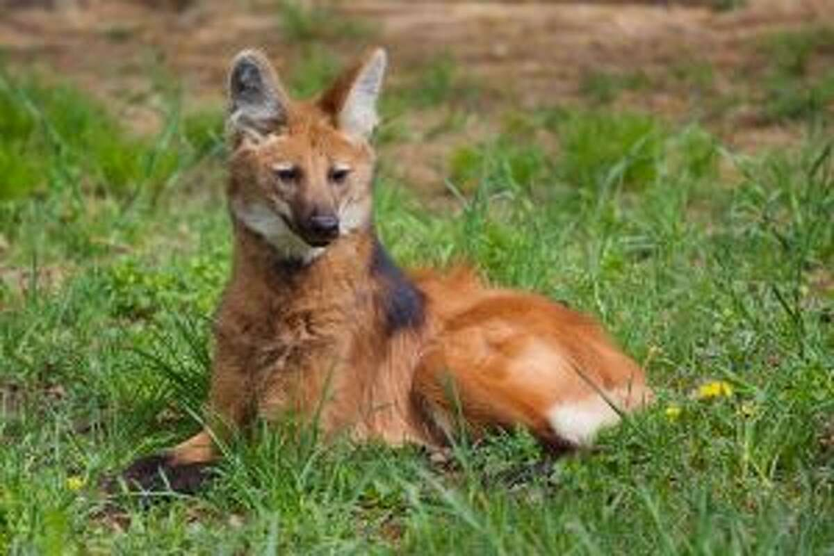 The Beardsley Zoo is home to a variety of animals like the maned wolf. - Shannon Calvert