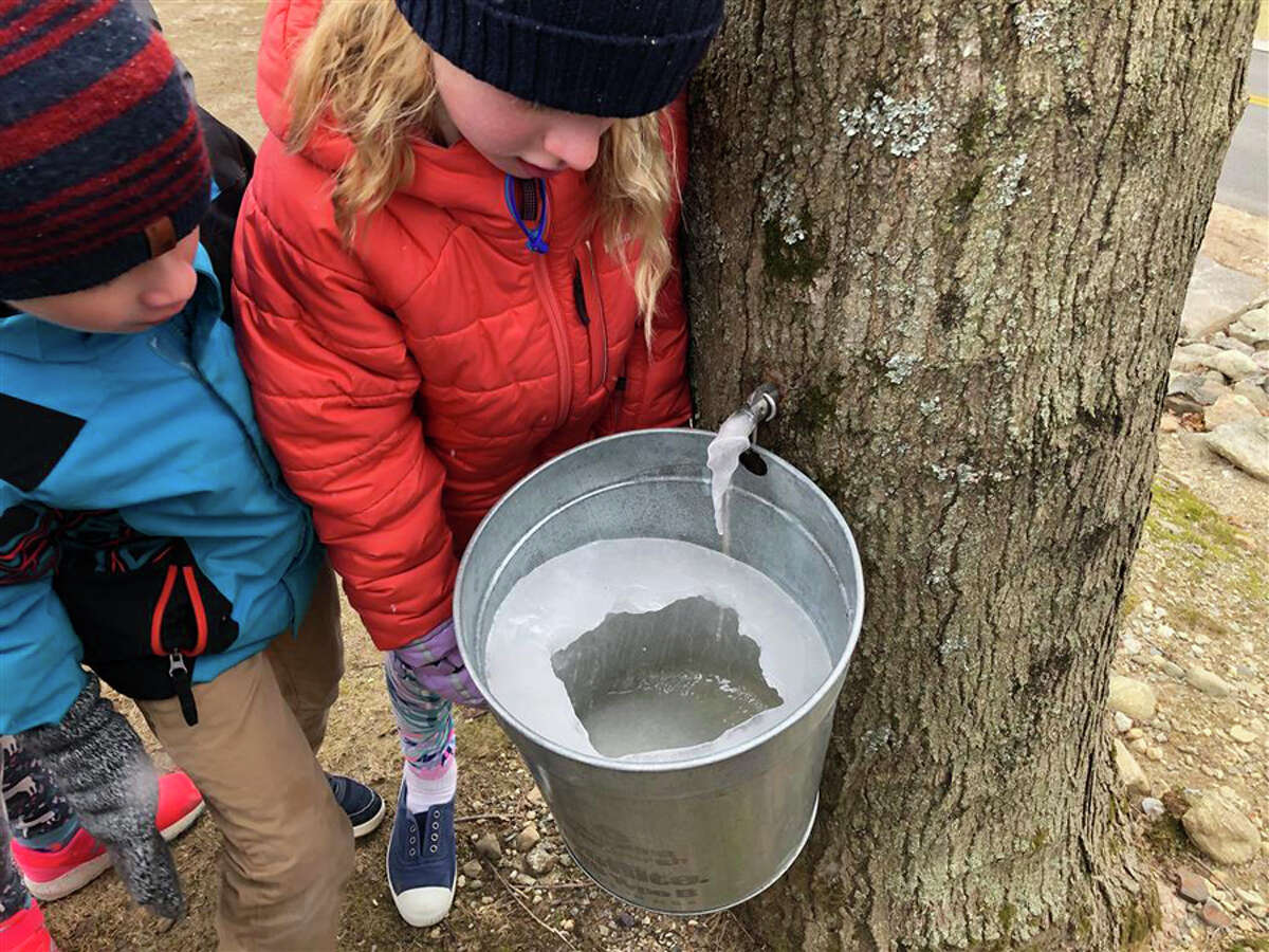 New Canaan Country School is continuing its tradition of tying studies to the tapping of maple trees.