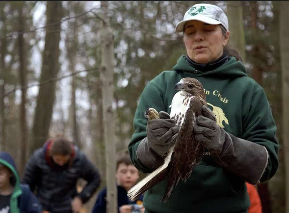 Dara Reid, founder of Weston-based Wildlife in Crisis, holds a red-tailed hawk the organization nursed back to health after it was struck by a vehicle in New Canaan. On Thursday, Feb. 7, the raptor was returned to town to be rereleased into the wild. Jarret Liotta / Hearst Connecticut Media Group