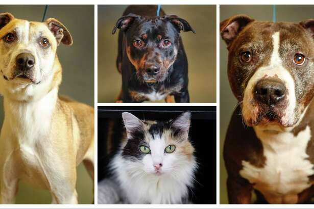Houdini (left: A310906); Jordy (top, center: A311586); Maybelle (bottom, center: A320496); Junior (right: A314357) All available for adoption at the Montgomery County Animal Shelter, in Conroe. Photographed Tuesday, June 25, 2019.