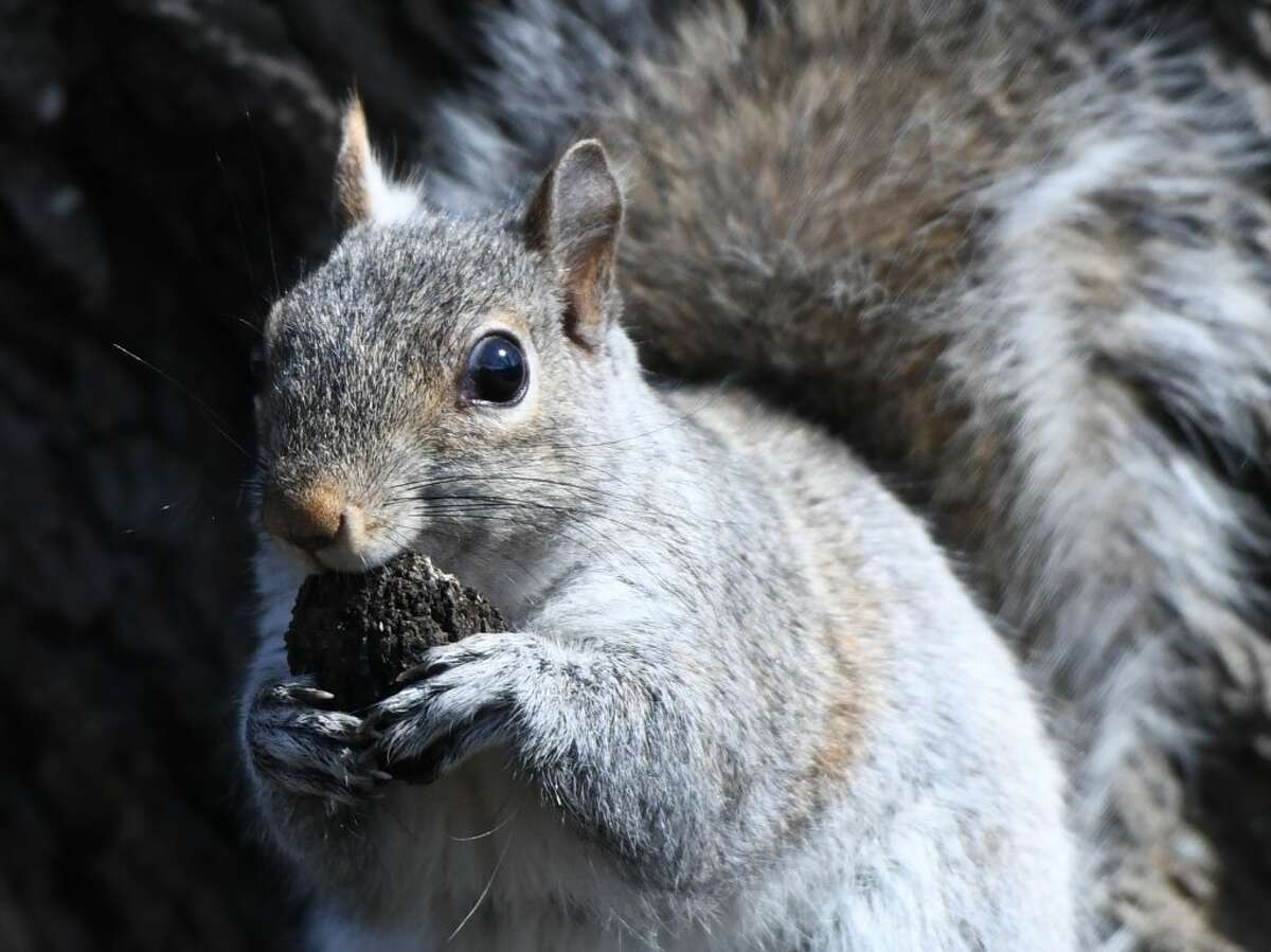 A Eastern gray squirrel nibbles a nut while perched on a tree in the Cos Cob section of Greenwich, Conn. Thursday, March 28, 2019.