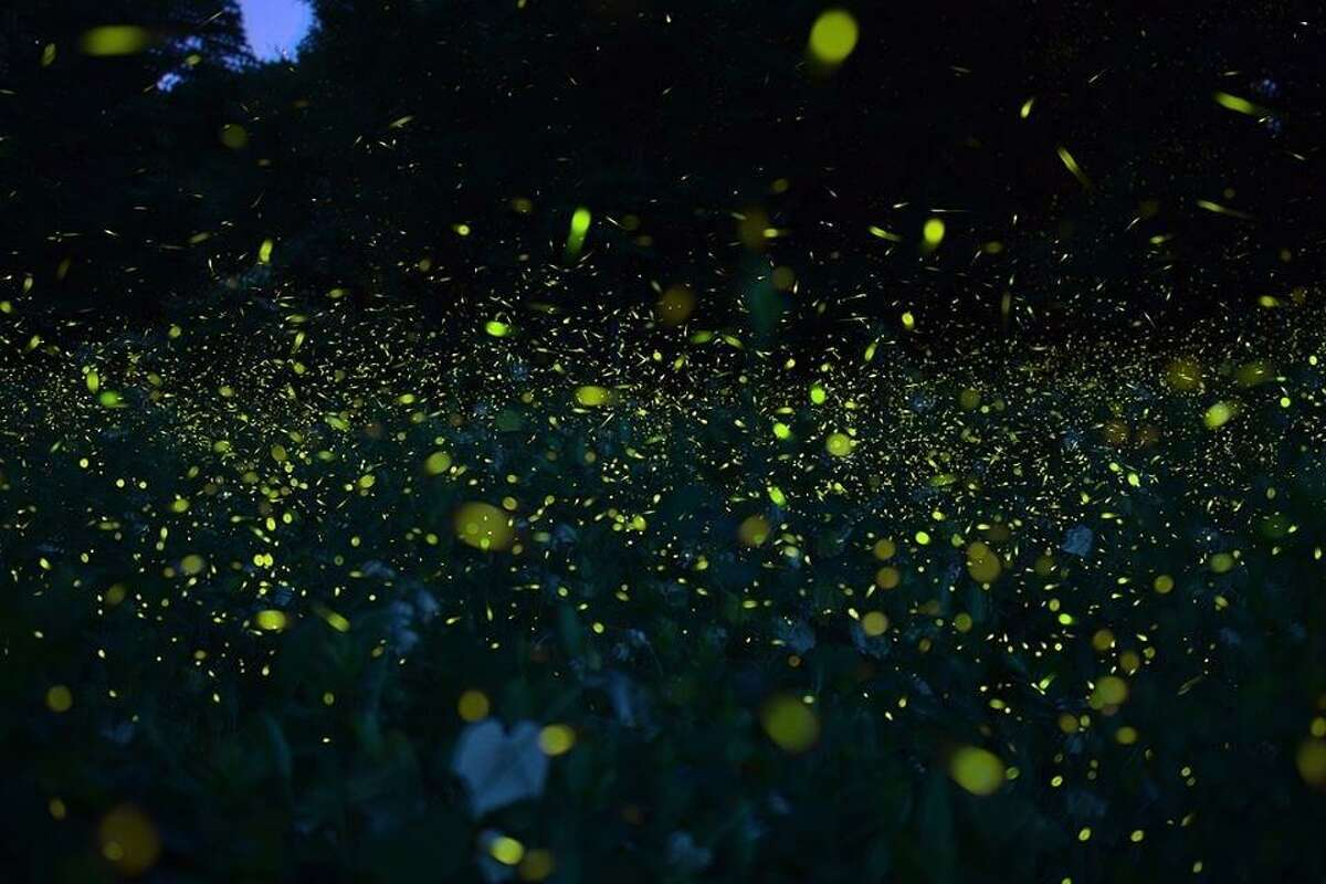 Audubon Greenwich is inviting the public to its popular Firefly Night, which is so popular, in fact, that a second night has been added. The program will take place June 27 and 28, both at 8:30 p.m.