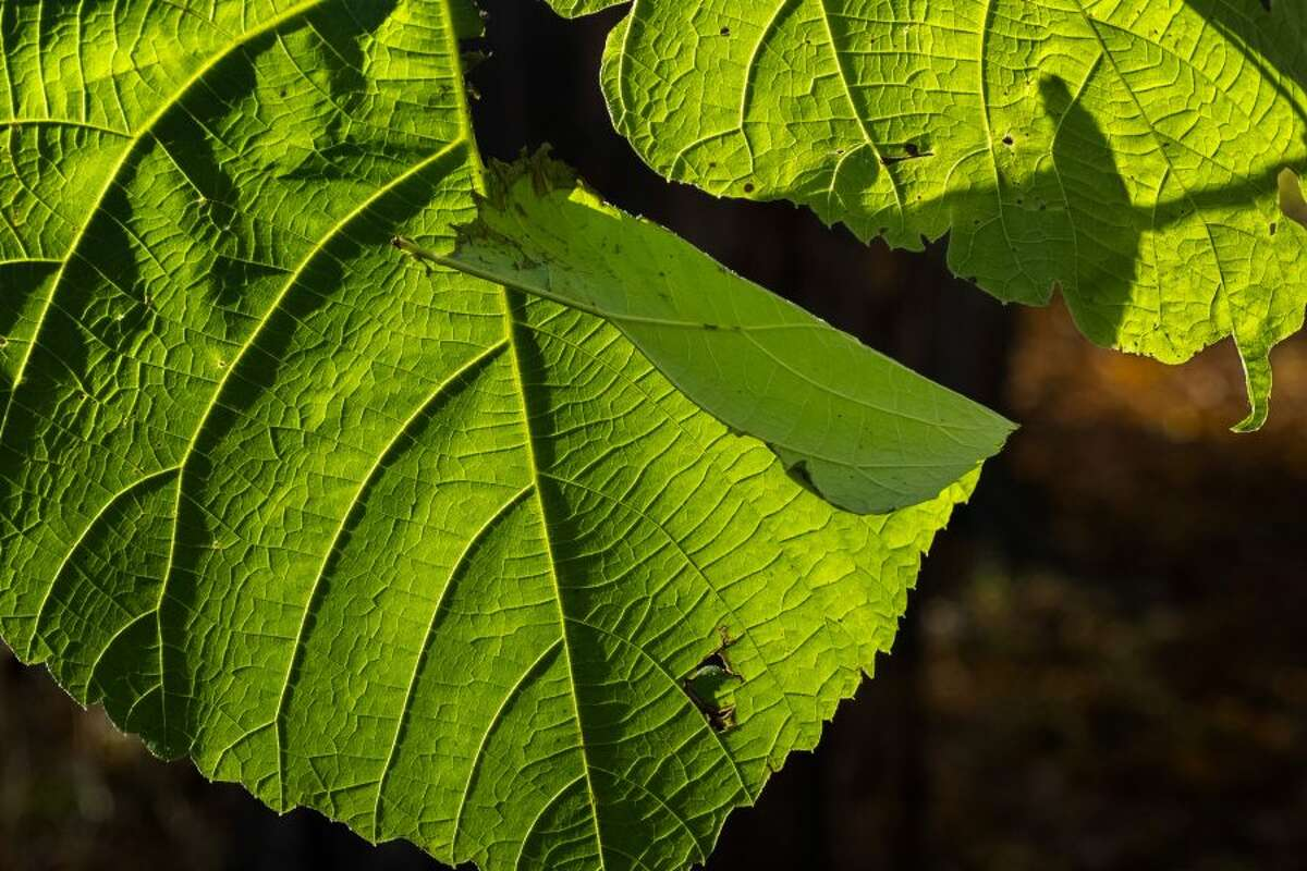 A leaf inspired photographer Roy Money to think about its place in the ecosystem. - Contributed photo