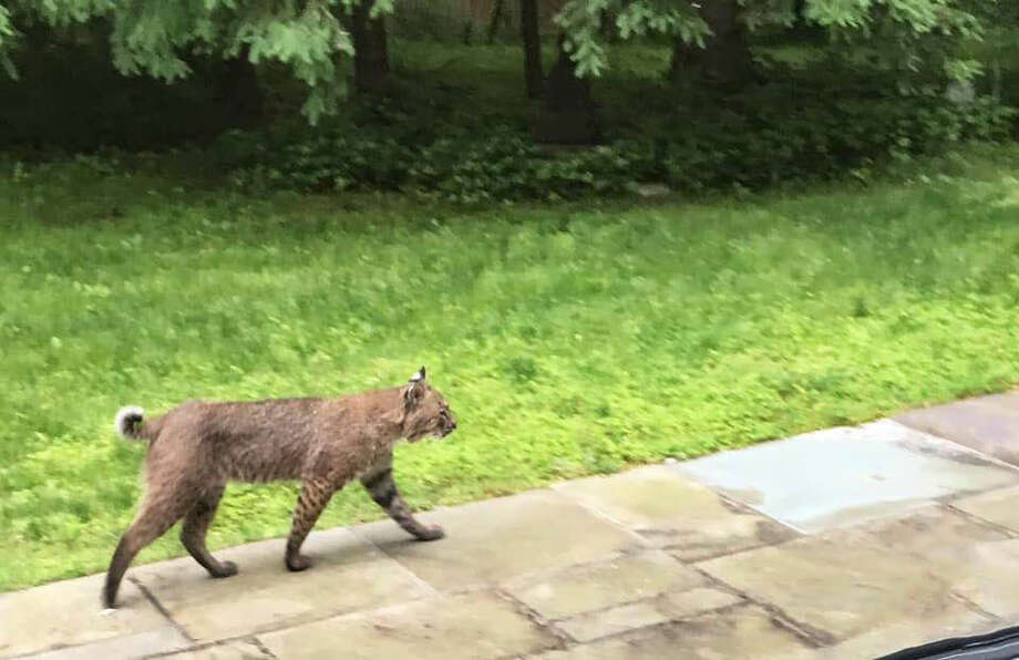 A bobcat was seen walking along a patio on Wicks End Lane in Wilton. — Contributed photo