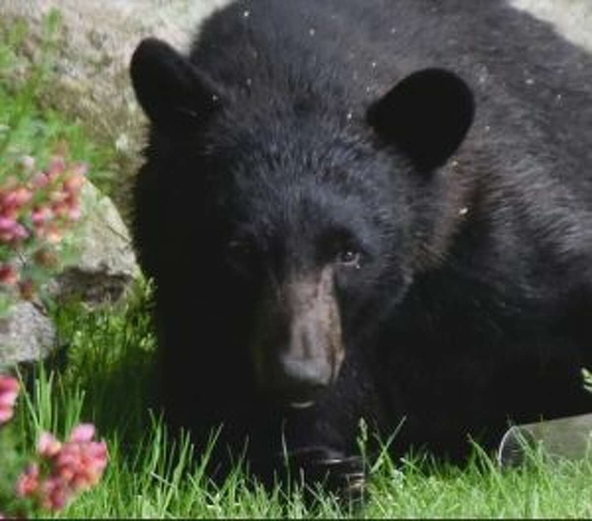 A bear was spotted in Wilton near Cranbury Park in May. Karen Reid/Contributed photo