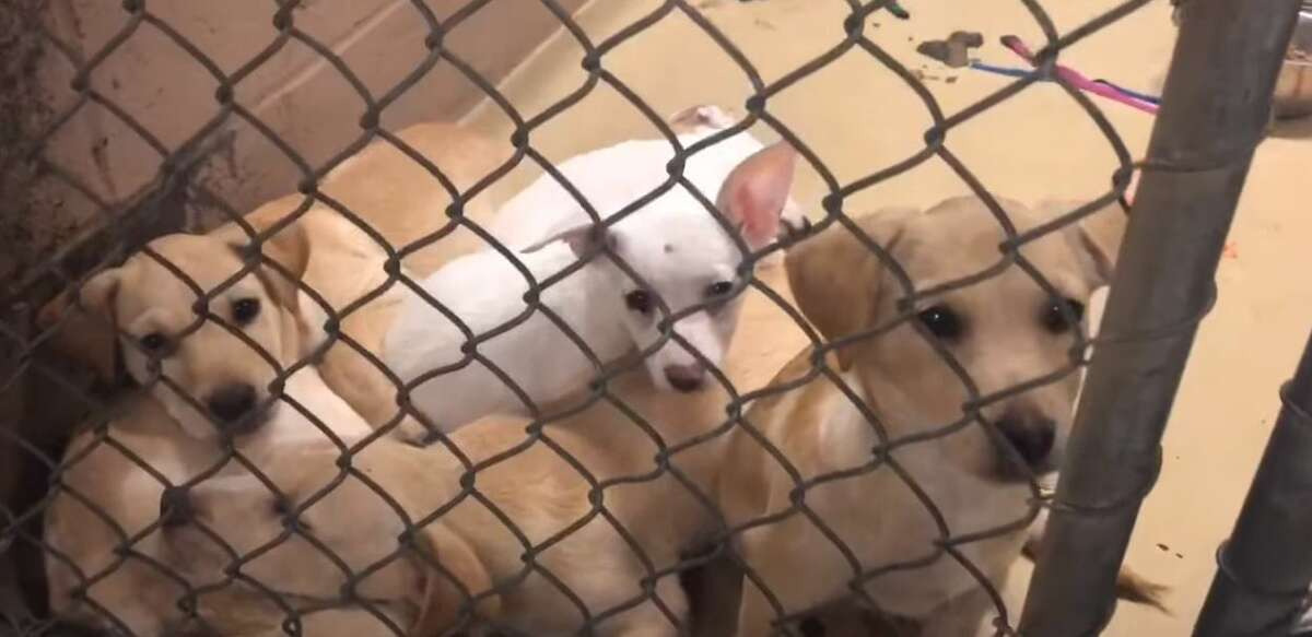 As of Tuesday afternoon, the shelter reported it was housing 534 animals when it only can only comfortably care for 200. Due to long wait times to surrender animals, people were reportedly leaving animals tied to trees or leaving them in boxes at the parking lot. The overcrowded shelter has been forced to house five to six animals to a kennel.