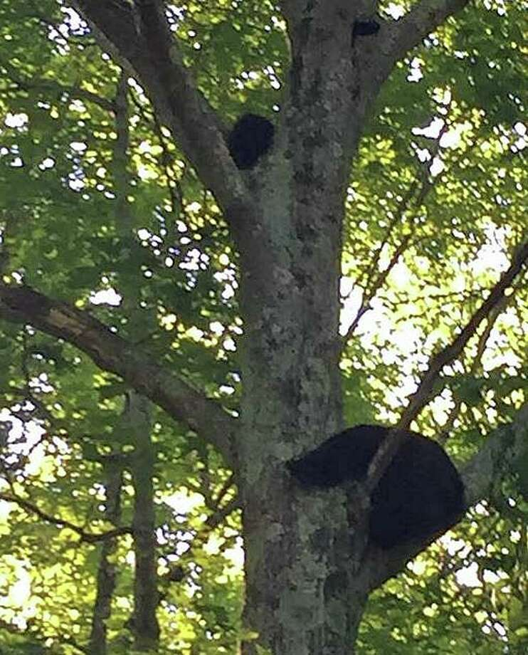 A mother bear and her two clubs has closed access to Topstone Park on Thursday, June 27, 2019. Police said the mama bear and her clubs were seen in a tree at the entrance of Topstone Park Photo: Redding Police Photo