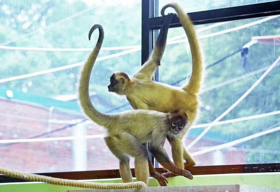 Connecticut's Beardsley Zoo will introduce a pair of Black-handed spider monkeysin their new habitat at 11 a.m. on Saturday, June 29, 2019. A male Spider monkey born in 2014, Gilligan, and a female Spider monkey born in 2000, T.T. (short for Tina Turner), have joined the zoo from the Henry Doorly Zoo and Aquarium in Omaha, Nebraska. Photo: Shannon Calvert Photo