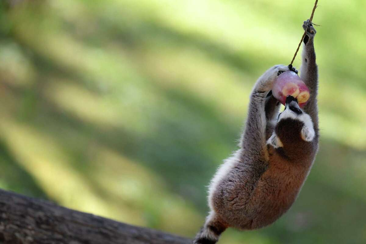 A ringtail lemur eats iced fruits to cool off at the Rome zoo (Bioparco di Roma) as temperatures reach 36 degrees Celsius on June 27, 2019 in the Italian capital. (Photo by Tiziana FABI / AFP)TIZIANA FABI/AFP/Getty Images