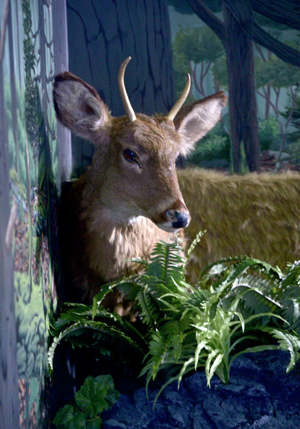 A deer inside the Wigwam Escape Room at the Institute for American Indian Studies in Washington, Conn. June 12, 2019.