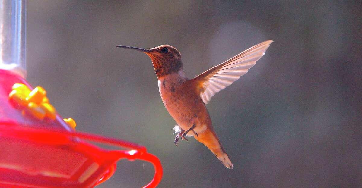 A hummingbird inspects a feeder.
