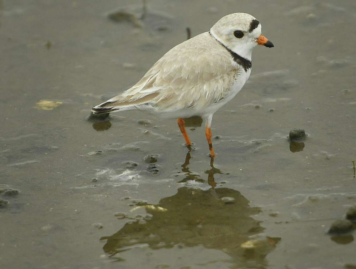 A piping plover feeds on a mud flat at Milford Point in Milford.