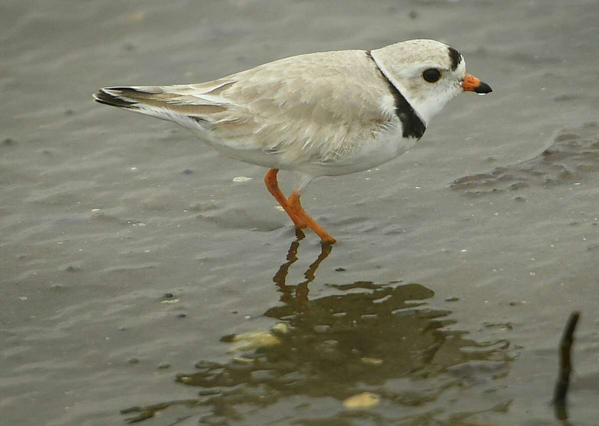 File photo of a piping plover at Milford Point in Milford, Conn.