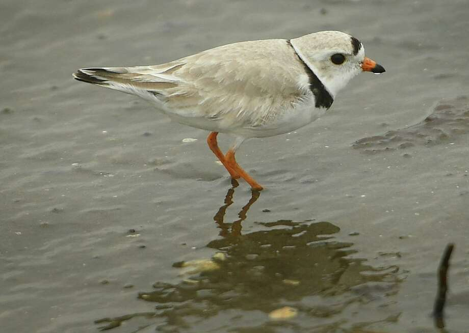 File photo of a piping plover at Milford Point in Milford, Conn. Photo: Brian A. Pounds / Hearst Connecticut Media / Connecticut Post